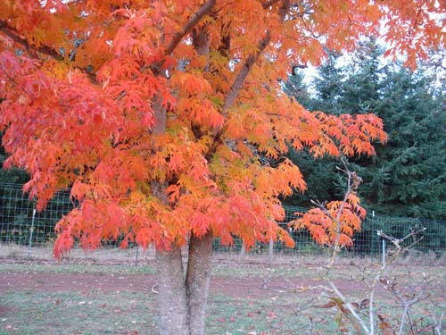 Sweet Shadow (Acer saccharum 'Sweet Shadow')