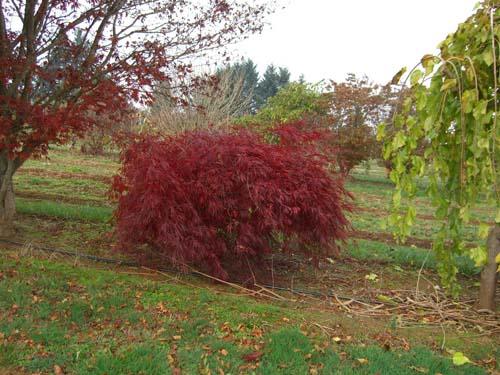 Tamukeyama (Acer palmatum 'Tamukeyama')