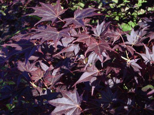 Tsukushigata (Acer palmatum 'Tsukushigata' )