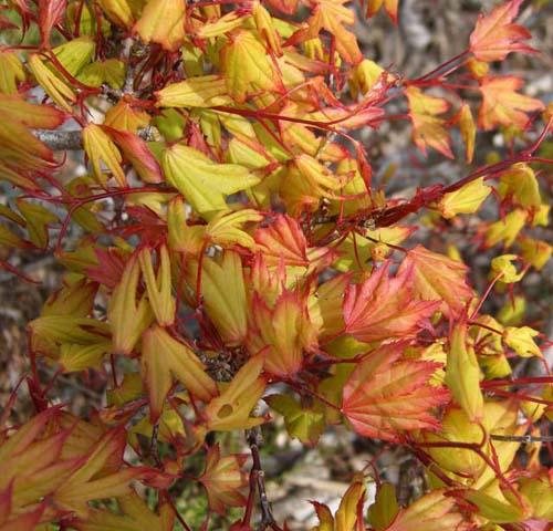 Tsumagaki (Acer palmatum 'Tsumagaki' )