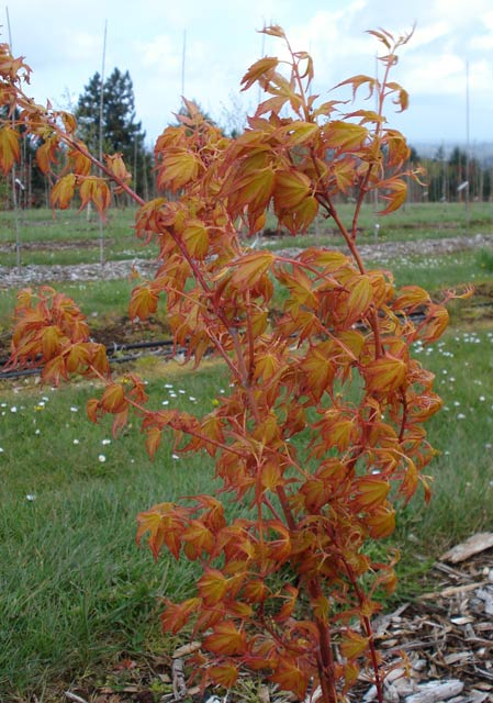 Acer Palmatum Whitman Farms Page 2