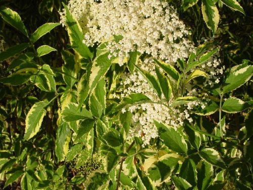 Variegata (Sambucus nigra 'Variegata')