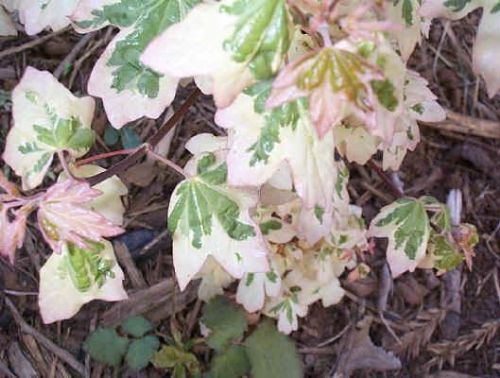 Variegated Hedge Maple (Acer campestre 'Carnival')