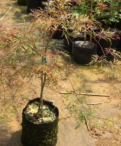 Watnong (Acer palmatum 'Watnong')