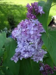 Wedgewood Blue (Syringa vulg. 'Wedgewood Blue')