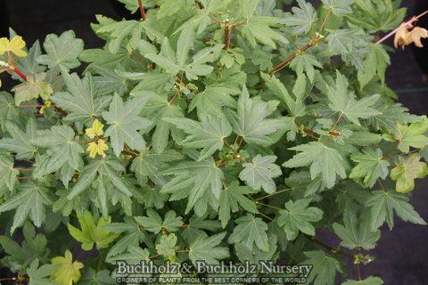 Whitney Broom (Acer circinatum 'Whitney Broom)