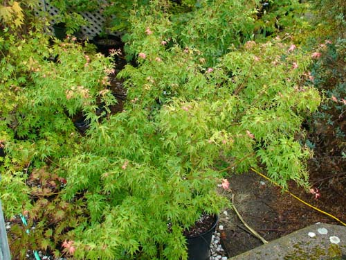 Wilsons Pink (Acer palmatum 'Wilsons Pink' )