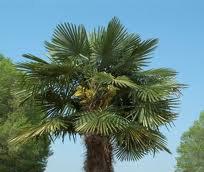 Windmill Palm (Trachycarpus fortuneii)