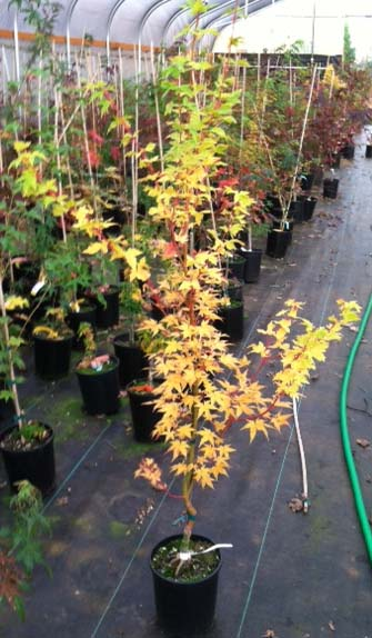 Winter Flame (Acer palmatum 'Winter Flame )