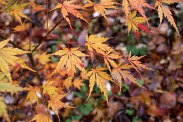 Wou nishiki (Acer palmatum 'Wou nishiki' )