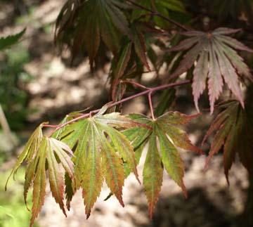 Yazemin (Acer palmatum 'Yazemin' )