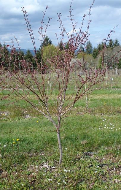 Yezo nishiki (Acer palmatum 'Yezo nishiki' )